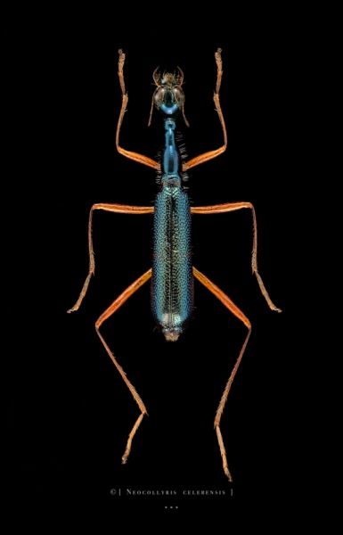 Neocollyris celebensis - Koh Samui - Thailand-2