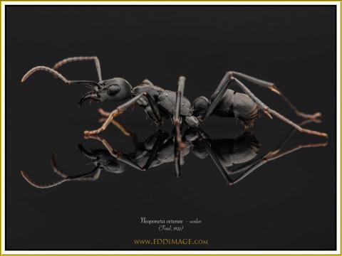 Neoponera-verenae-worker-5-Forel-1922