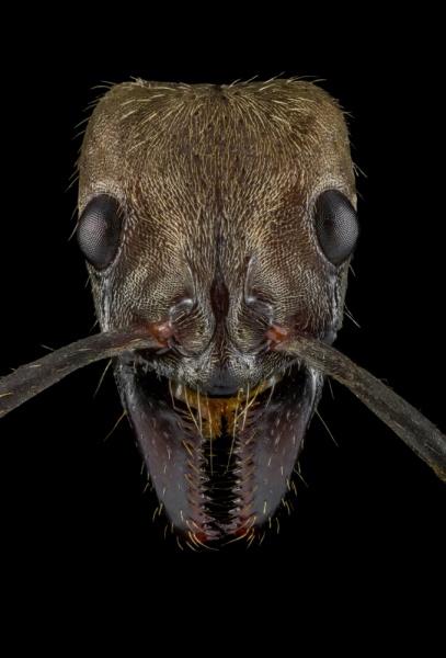 hairy-panther-ant-Neoponera-villosa-Texas