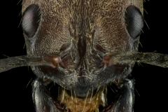hairy-panther-ant-Neoponera-villosa-Texas-2