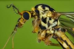 Tiger-Cranefly-Nephrotoma-flavescens