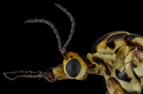 Tiger-cranefly-Nephrotoma-flavescens-UK