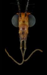 tiger-cranefly-Nephrotoma-cf-flavescens-UK-1