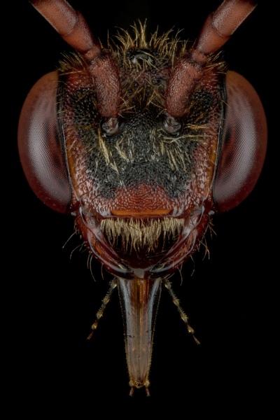 Cuckoo-bee-Nomada-flava-UK-2