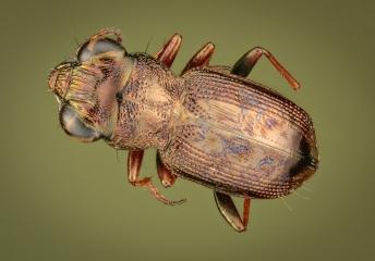 ground beetle - [Notiophilus substriatus] - UK-3