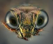 ground beetle - [Notiophilus substriatus] - UK