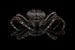 walnut orb weaver [Nuctenea umbratica] - UK