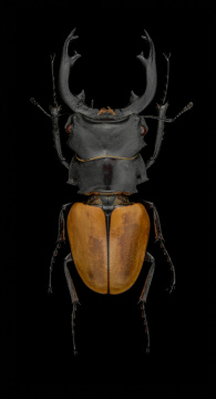 1_Odontolabis-mouhoti-elegans-Myanmar