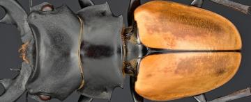 Odontolabis mouhoti elegans - Myanmar-3
