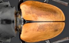 Odontolabis mouhoti elegans - Myanmar-4