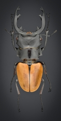 Odontolabis mouhoti elegans - Myanmar