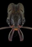 trap-jaw [Odontomachus cf. monticola] copy