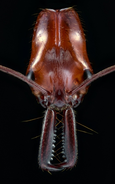 trap-jaw - [Odontomachus hastatus] - South America-2