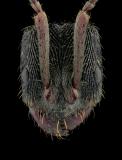 Odontoponera-denticulata-1