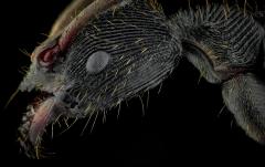 Odontoponera transversa - New Guinea-3