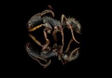 Odontoponera transversa - New Guinea