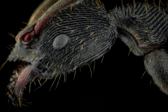 Odontoponera denticulata - New Guinea