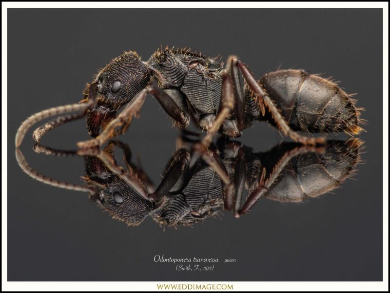 Odontoponera-transversa-queen-1-Smith-F.-1857