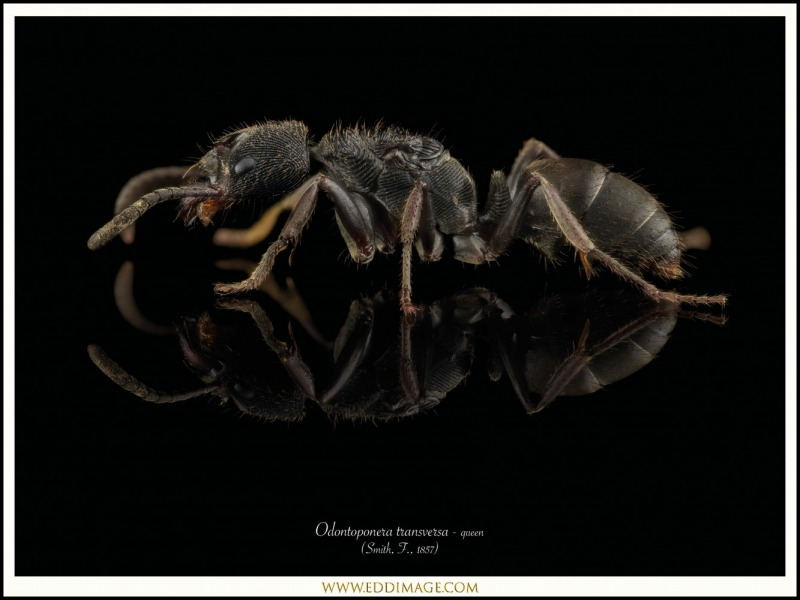 Odontoponera-transversa-queen-3-Smith-F.-1857
