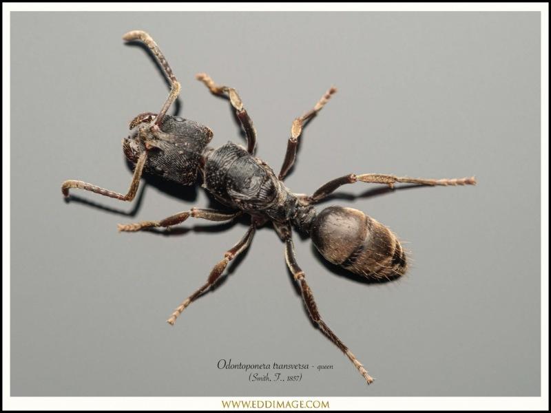 Odontoponera-transversa-queen-7-Smith-F.-1857