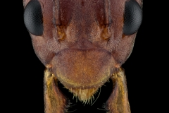 Weaver ant [Oecophylla smaragdina]-2