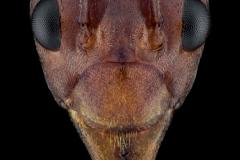 Weaver ant [Oecophylla smaragdina]