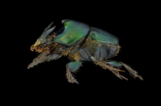 Green scarab dung beetle [Onthophagus mouhoti] - Thailand-4