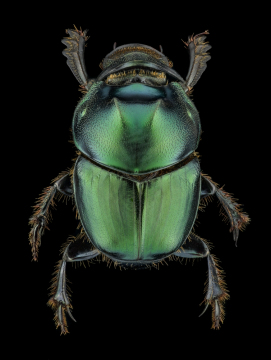 Green scarab dung beetle [Onthophagus mouhoti] - Thailand