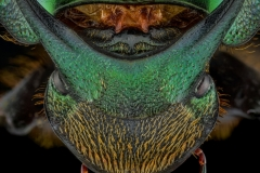 Green scarab dung beetle [Onthophagus mouhoti] - Thailand-3