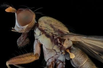 Opomyza germinationis-2