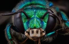 Orchard bee [Euglossa heterosticta Moure] female - Costa Rica-2