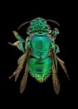 Orchard bee [Euglossa heterosticta Moure] female - Costa Rica-3