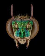 Orchard-bee-Euglossa-heterosticta-Moure-male-Costa-Rica