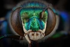 Orchard bee [Euglossa heterosticta Moure] Costa Rica-2