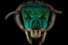 Orchard-bee-Euglossa-heterosticta-Moure-female-Costa-Rica-4