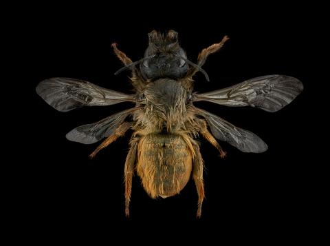 Red-Mason-bee-Osmia-bicornis-UK