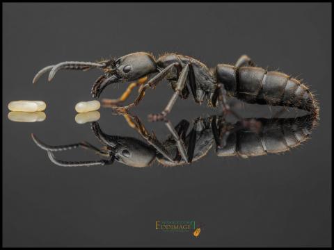 Pachycondyla-crassinoda-worker-1Latreille-1802