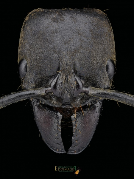 Pachycondyla-crassinoda-worker-2Latreille-1802