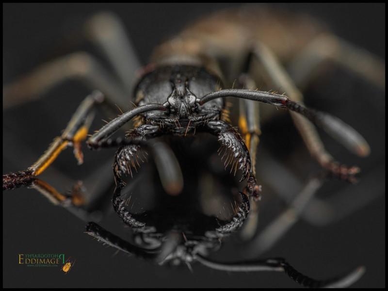 Pachycondyla-crassinoda-worker-6Latreille-1802
