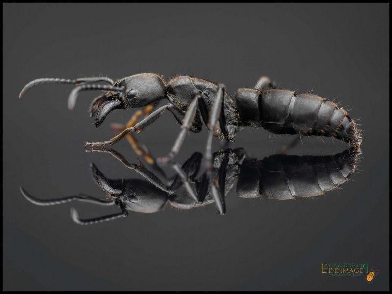 Pachycondyla-crassinoda-worker-7Latreille-1802