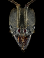 Pachycondyla impressa - South America-3