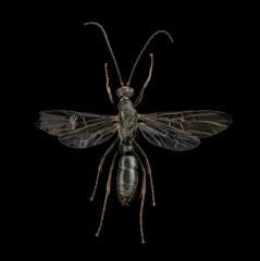 Pachycondyla-impressa-male