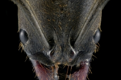 Pachycondyla impressa - South America-2