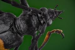 Mimusop Stem Borer (Pachyteria dimidiata)-2