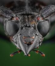Mimusop Stem Borer (Pachyteria dimidiata)