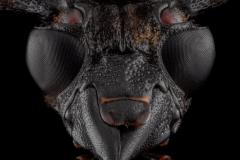 Pachyteria-dimidiata-Malaysia-2