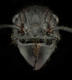 bullet ant [Paraponera clavata] Nicaragua-11