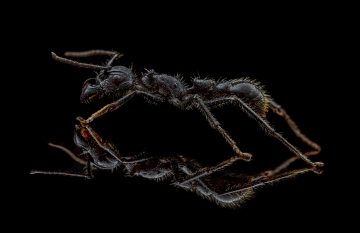 bullet ant [Paraponera clavata] Nicaragua-12