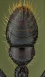 bullet ant [Paraponera clavata] Nicaragua-3