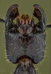 bullet ant [Paraponera clavata] Nicaragua-4